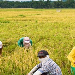 Iloilo is 1st qtr top rice producer
